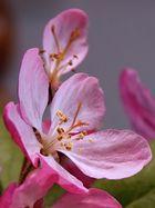 Zierkirschblüten