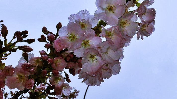 *** Zierkirschblüten ***