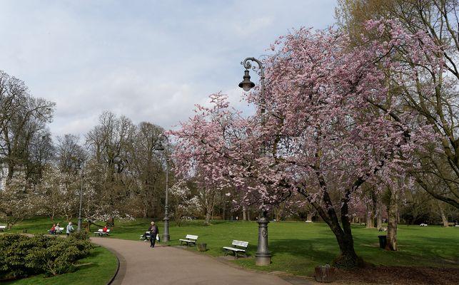 Zierkirsche und Magnolien im Kurpark Wiesbaden