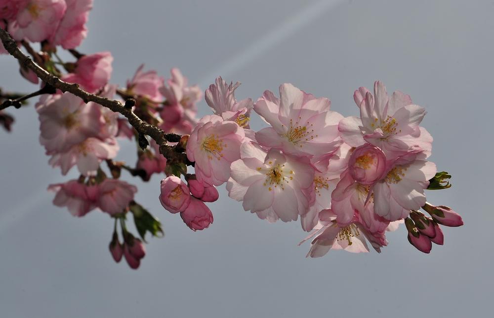 Zierkirschenblüte.......