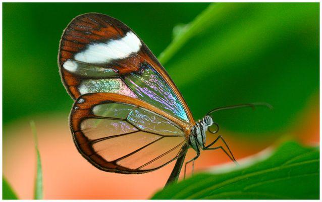 Zierliche Schönheit (Glasflügler)