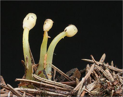 Zierlicher Sumpfhaubenpilz - Mitrula gracilis