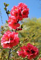 Zierquitten - Blüte