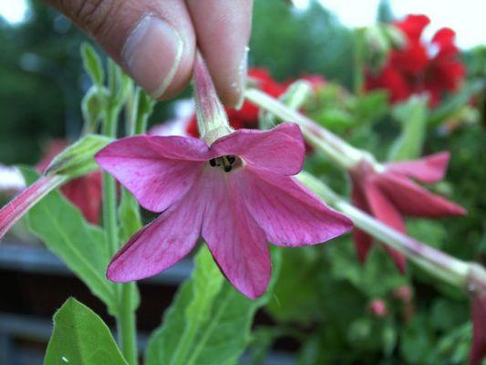 Ziertabak Blume