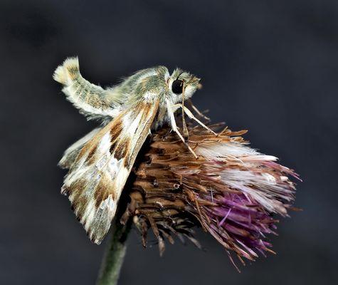 Ziest-Dickkopffalter (Carcharodus lavatherae), ein schlafendes Männchen! *