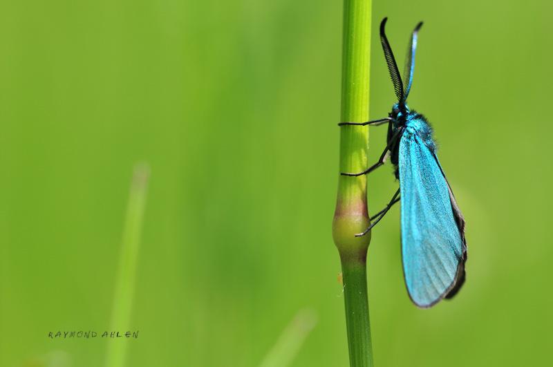 Zigène bleue