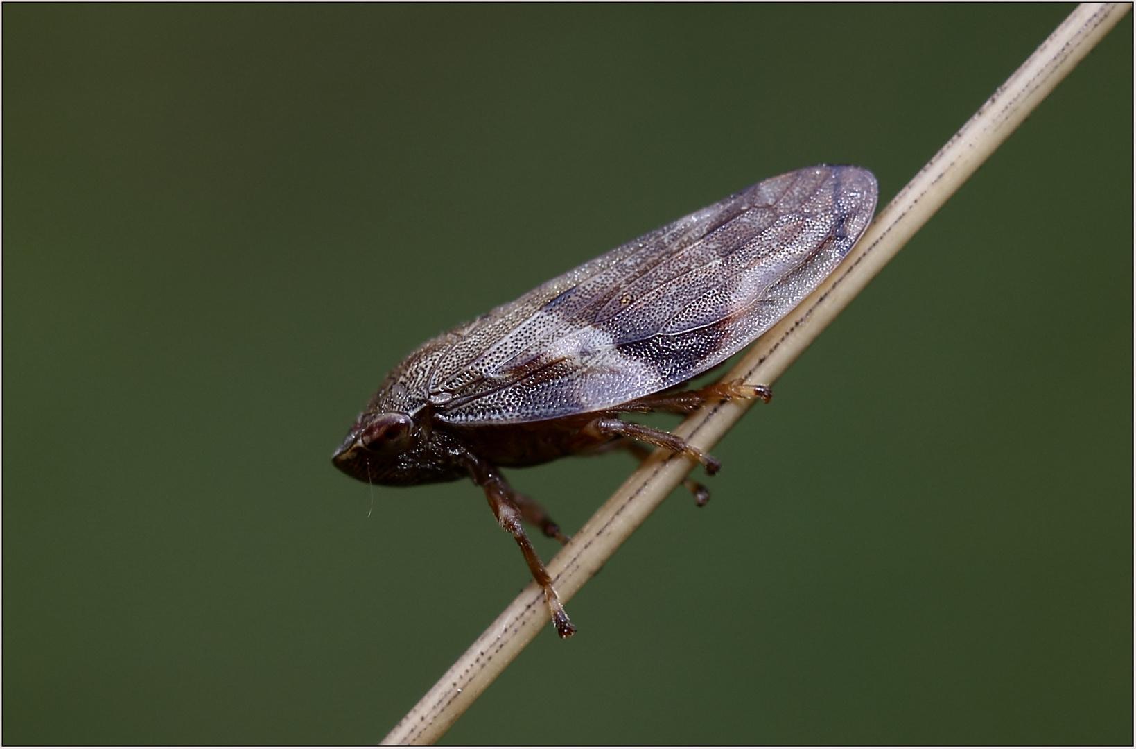 Zikade