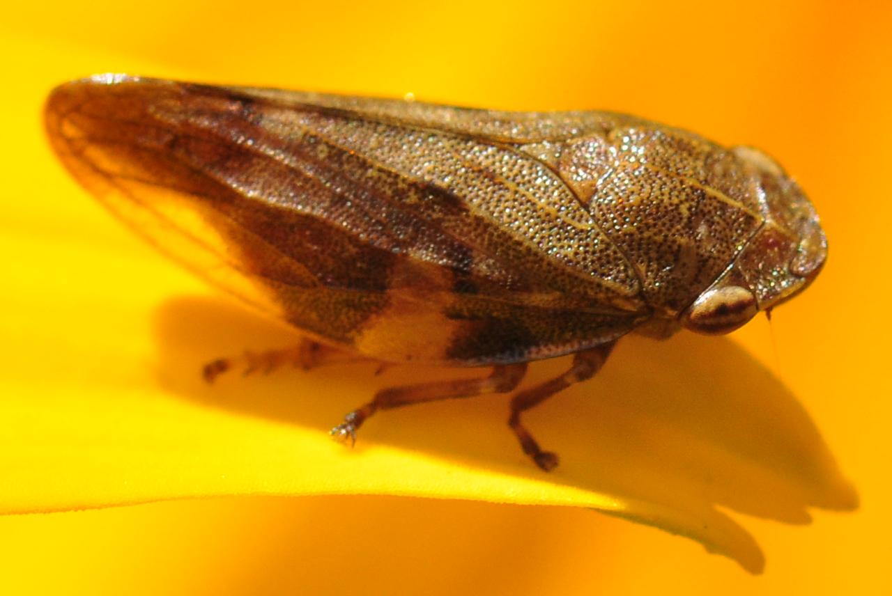 Zikade auf einem Blumenblatt
