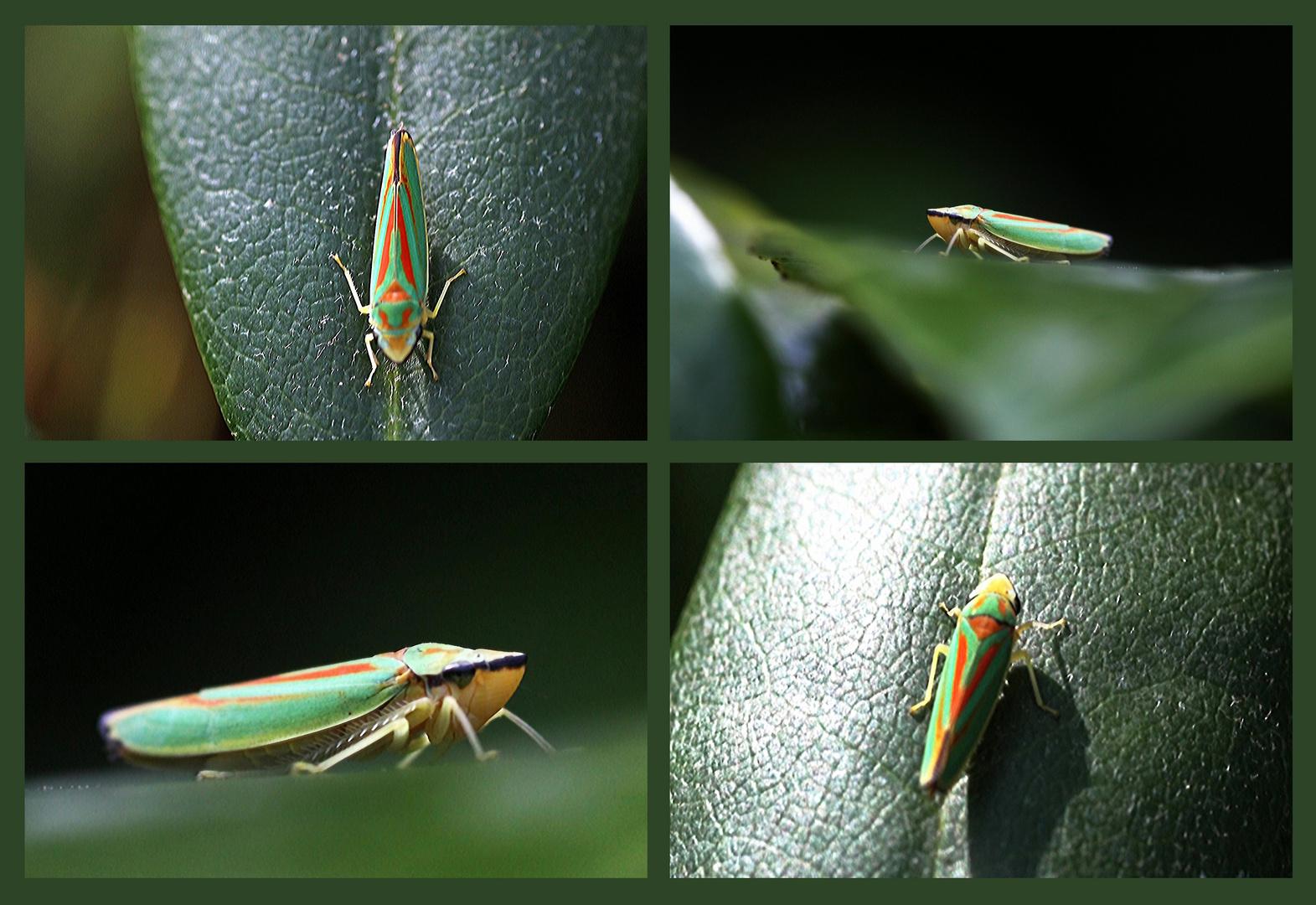 Zikaden, frisch aus dem Garten