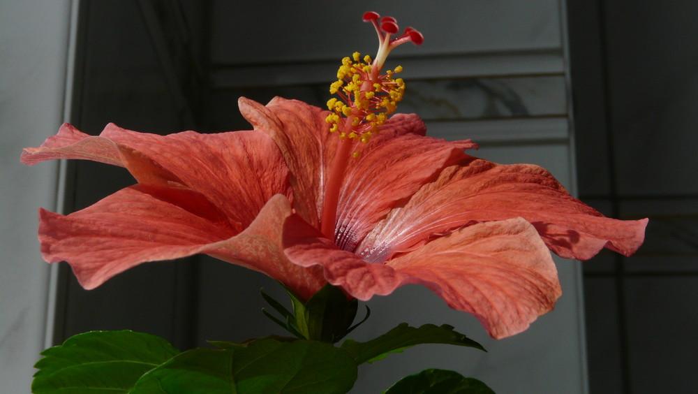 zimmer hibiskus oder japanische rose foto bild. Black Bedroom Furniture Sets. Home Design Ideas