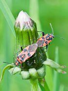 Zimtwanzenpaar (Corizus hyoscyami)