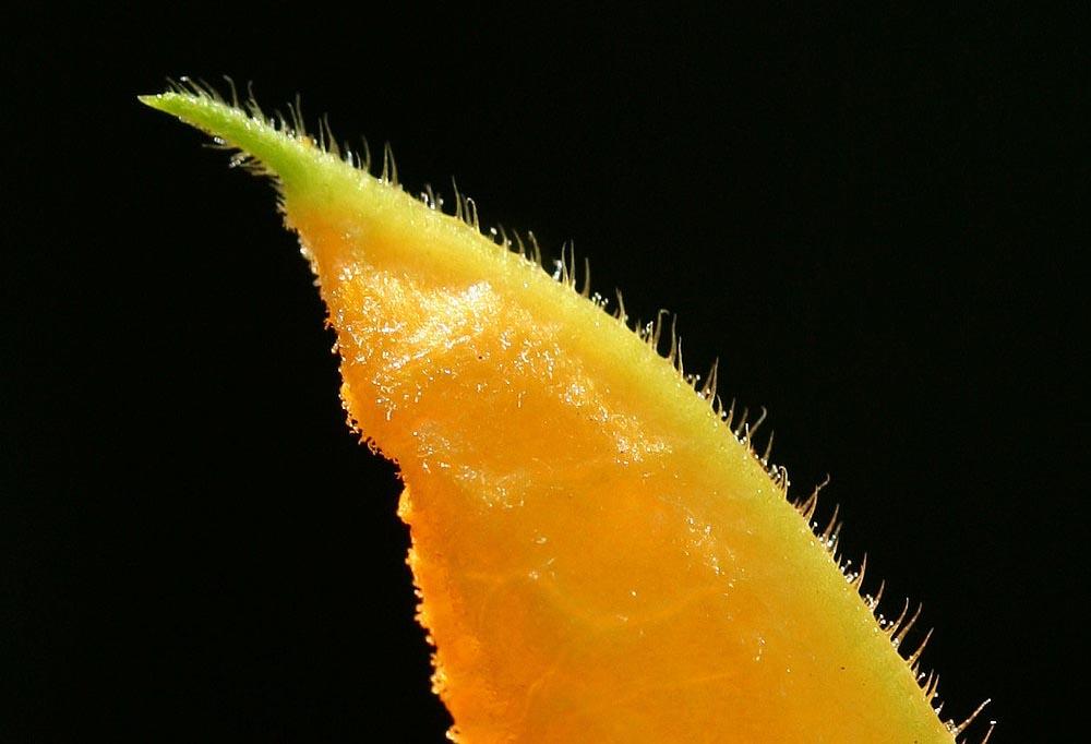 Zipfel einer Zucchiniblüte......