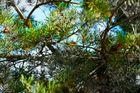 Zirbenbaum im Herbst