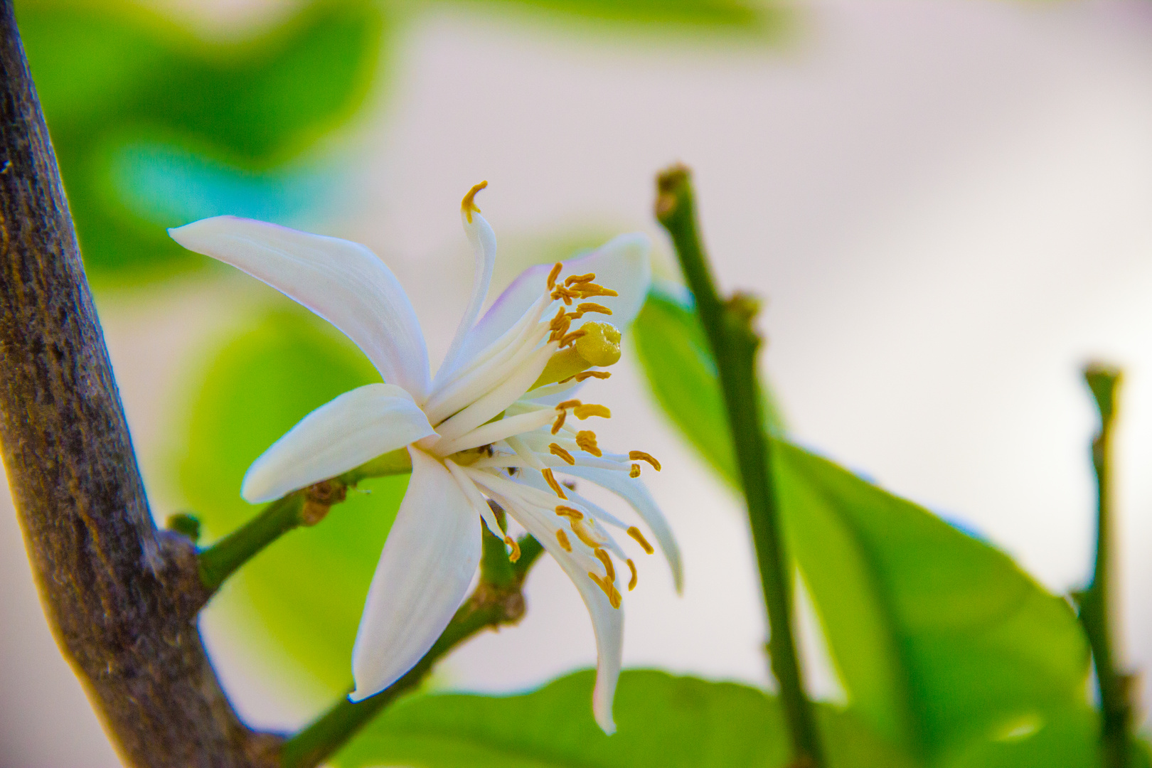 Zitronen Baum Blüte