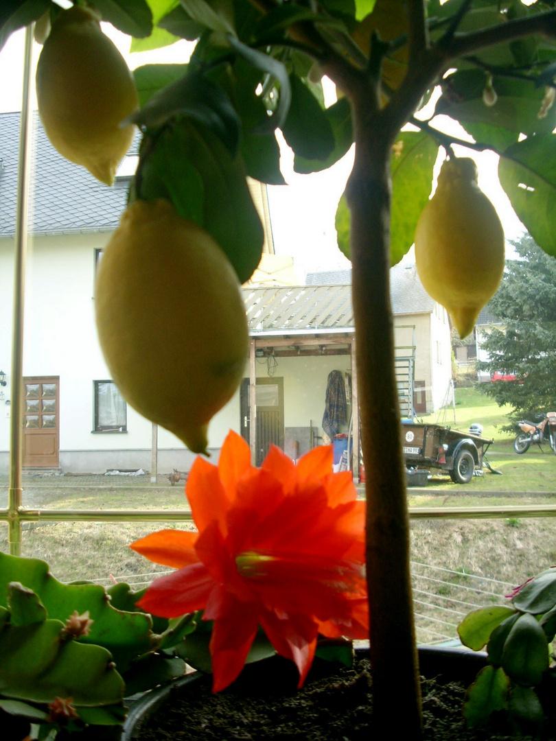Zitronenbaum und Kaktusblüte