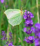 Zitronenfalter an Lavendel