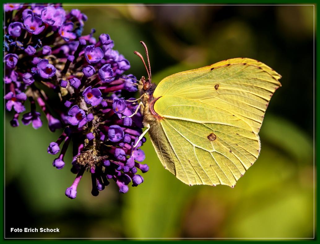 Zitronenfalter auf dem Sommerflieder, seiner Lieblingsblüte