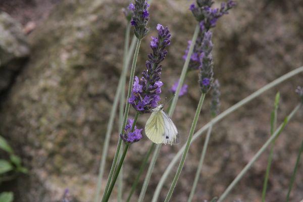Zitronenfalter auf Lavendel
