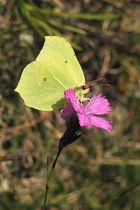 Zitronenfalter - (Gonepteryx rhamni)