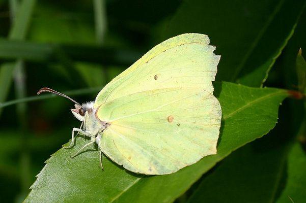 Zitronenfalter - Gonepteryx rhamni