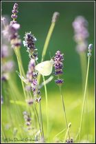 Zitronenfalter im Lavendel