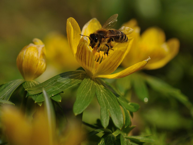 Zitronenfarbener Pollen