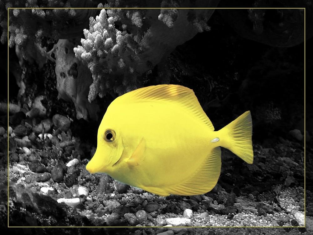 Zitronenfisch