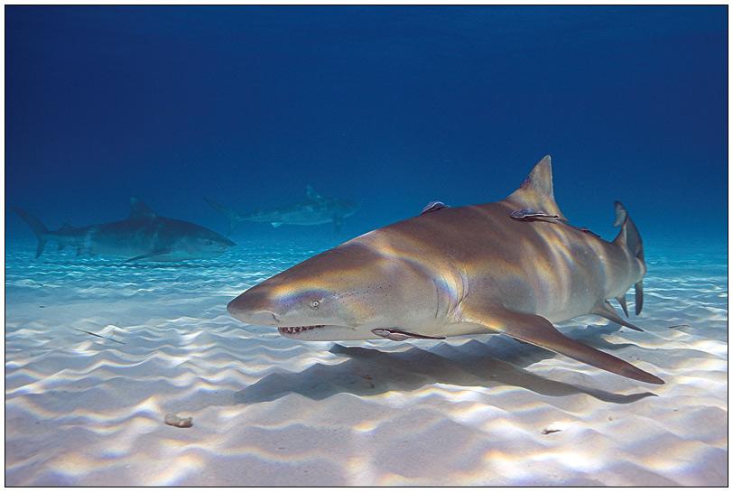 Zitronenhai und 2 Tigerhaie