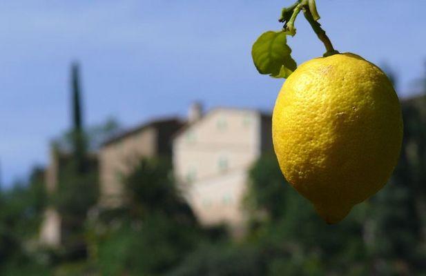 Zitronenplantage in Deia