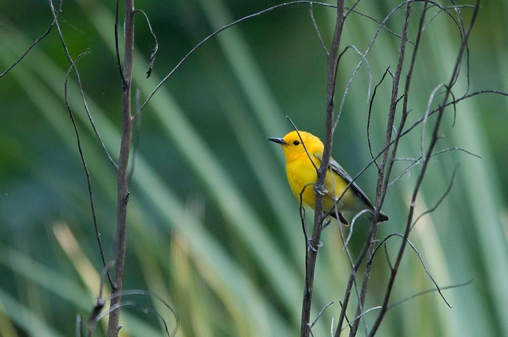 Zitronenwaldsänger - Prothonotary Warbler (Protonotaria citrea)