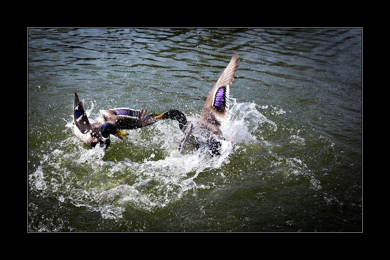 Zoff im Teich