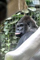 Zolli, Basel - Gorilla