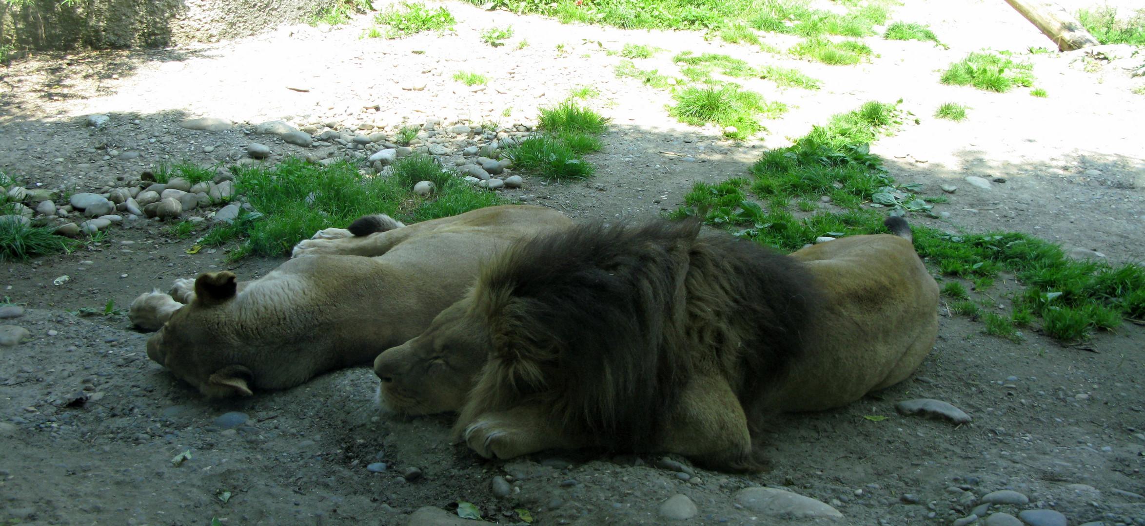 Zolli, Basel - Löwen bei der Siesta