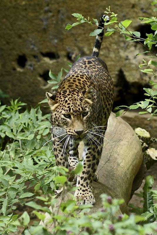 Zoo de Doué-la-Fontaine - léopard de Ceylan