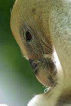 Zoo de Doué-la-Fontaine - vautour