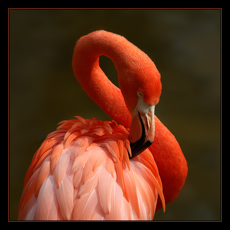 Zoo DO - Flamingo