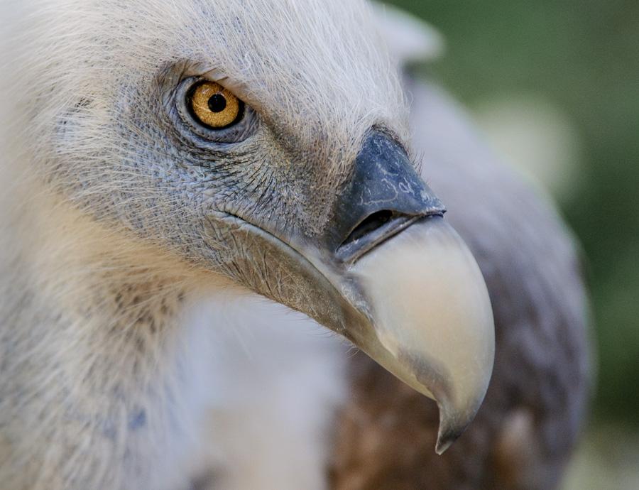 Zoo Duisburg | Auge in Auge mit dem Gänsegeier