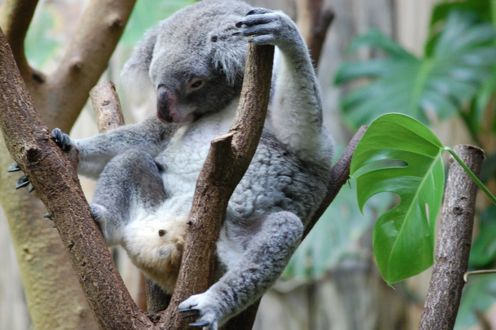 Zoo Duisburg Koala 2013