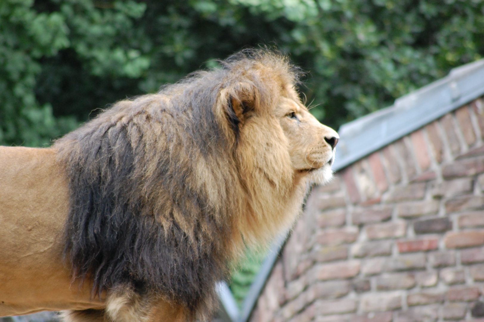 Zoo Duisburg Löwe 2013
