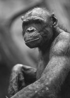 Zoo Frankfurt - Bonobo