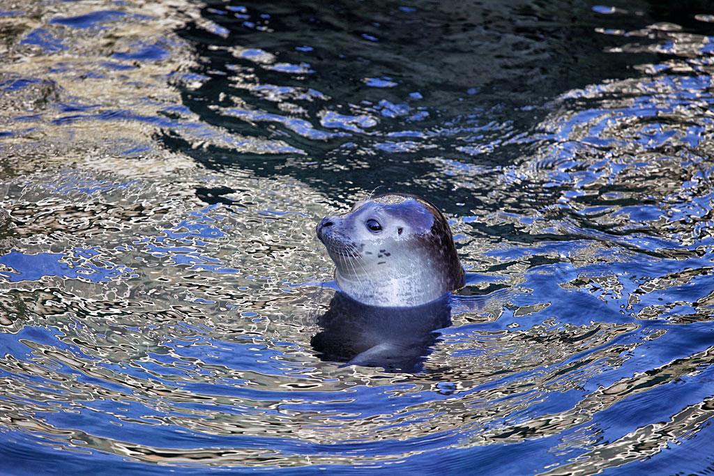 Zoo Frankfurt - Seehund