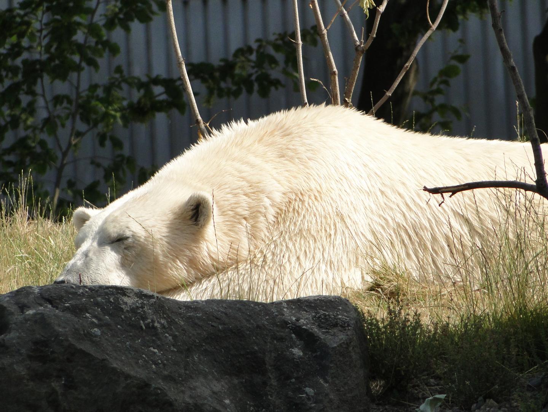 Zoo Hannover - Der Eisbär in der Mittagssonne