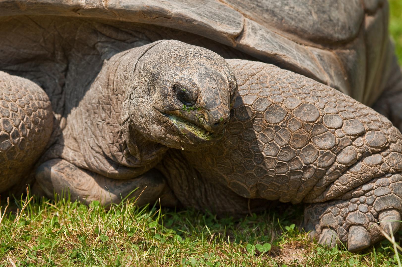 Zoo Heidelberg - Riesenschildkröte