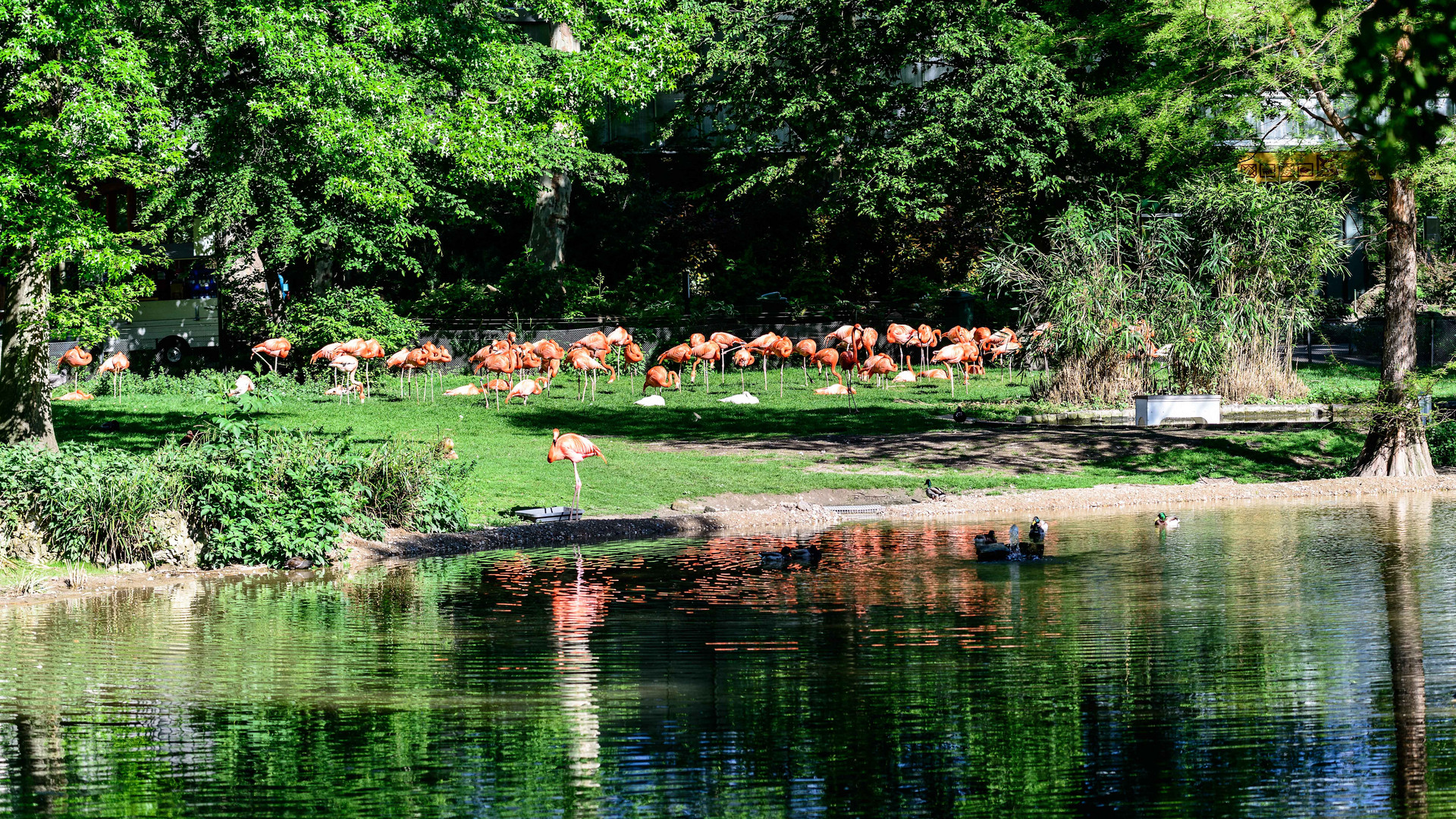 Zoo Köln - Flamingos..