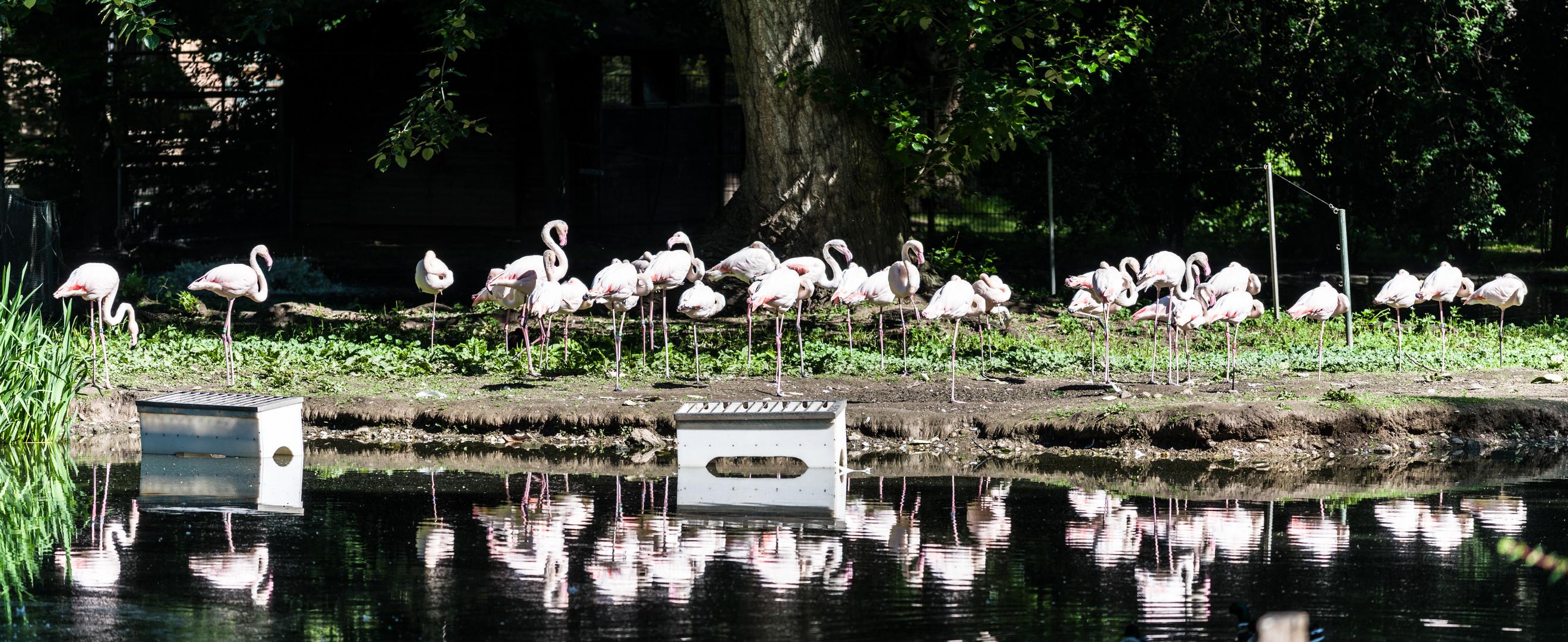 Zoo Köln - Flamingos