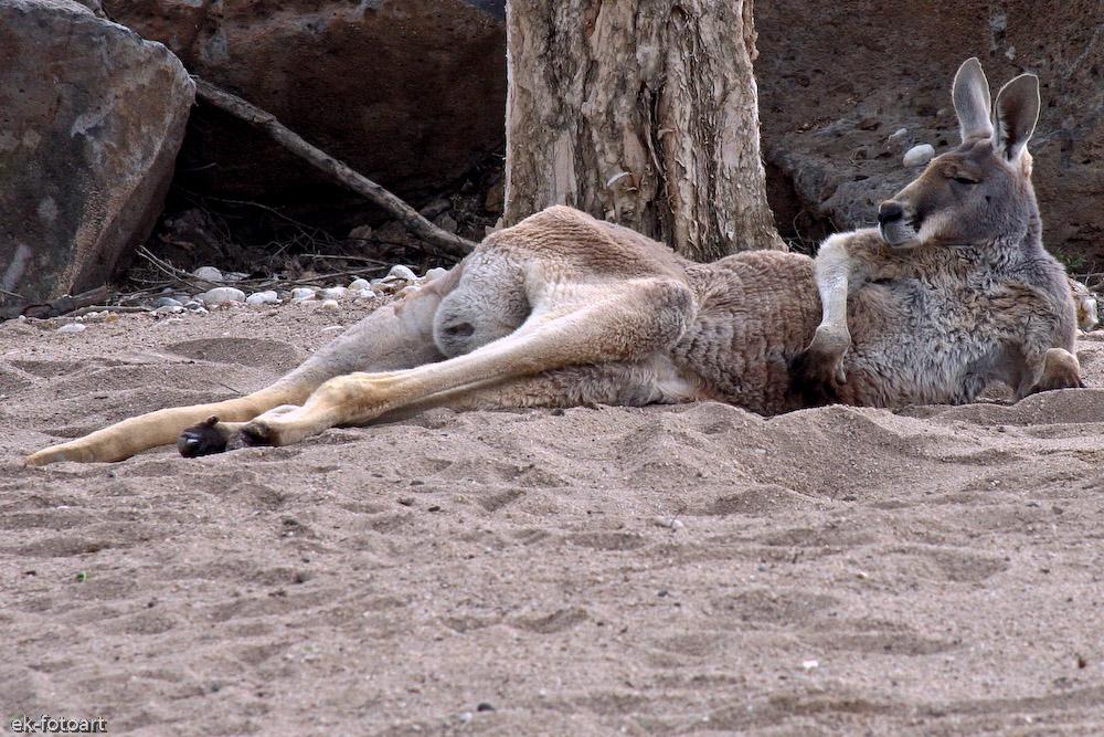 Zoo Sydney ... kein Interesse..