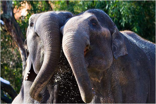 Zoo Zürich - Elefanten