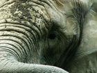 Zooelefant