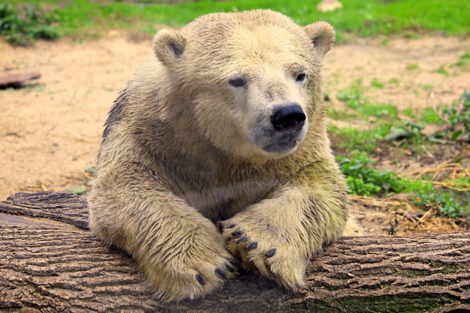Zoom Erlebniswelt - Eisbärjunge