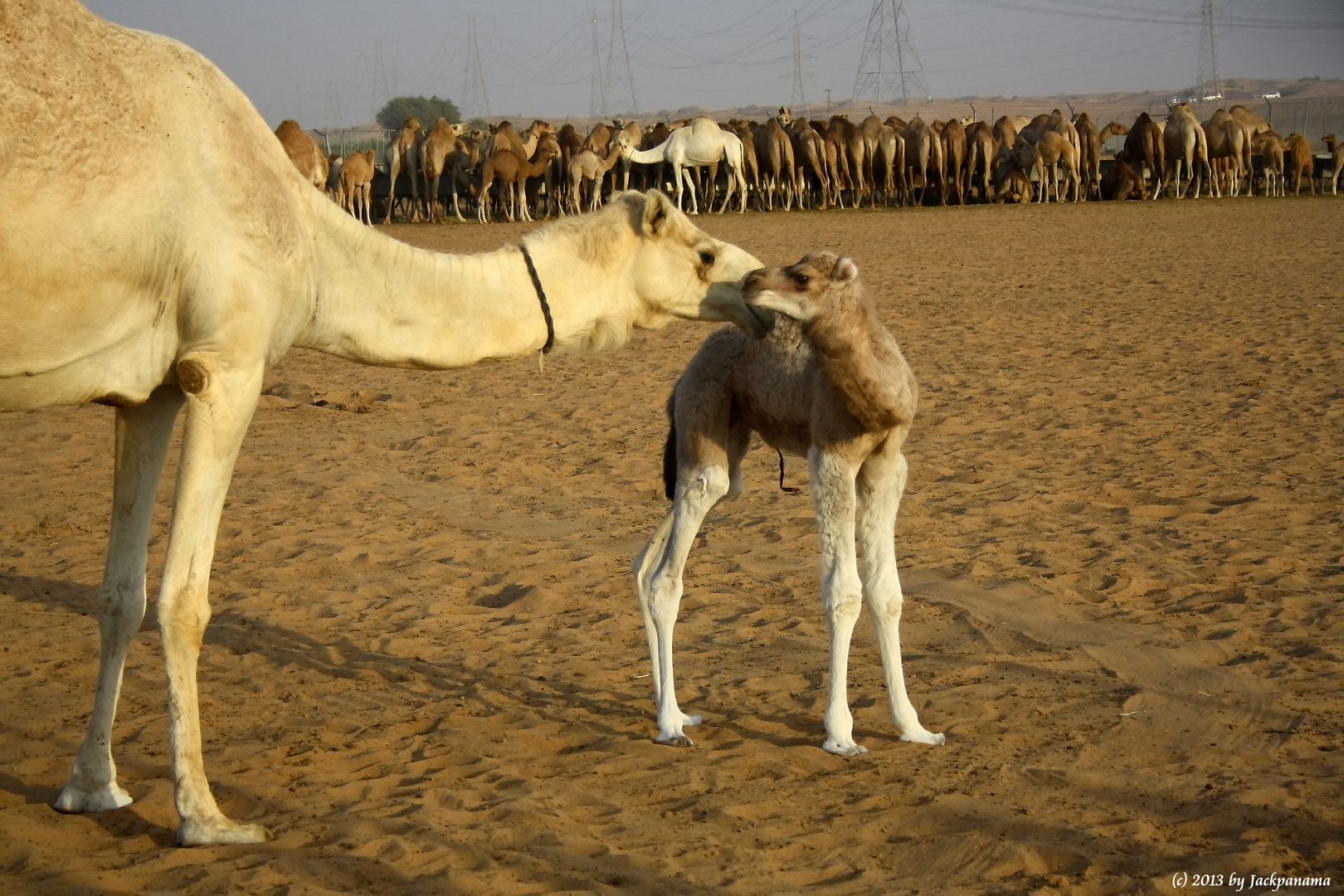 Zu Besuch auf einer Kamelfarm in Dubais Wüste während einer Wüstensafari